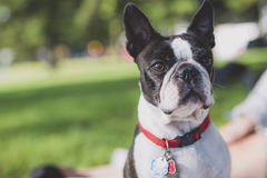 Black and white Boston Terrier wearing a red harness. A black and white Boston Terrier wearing a red harness Stock Photo