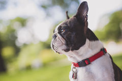 Black and white Boston Terrier wearing a red harness. A black and white Boston Terrier wearing a red harness Royalty Free Stock Photo