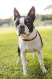 Black and white Boston Terrier wearing a red harness. A black and white Boston Terrier wearing a red harness Stock Photos