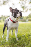 Black and white Boston Terrier wearing a red harness. A black and white Boston Terrier wearing a red harness Stock Images