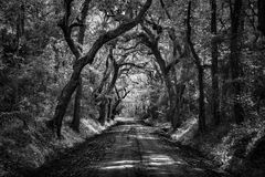 Black and White Botany Bay Dirt Road Oak Tree Tunnel. Black and White dirt road oak tree tunnel at the Botany Bay Plantation in Edisto Island, South Carolina Royalty Free Stock Images