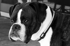 Black and White of Boxer Dog Face Royalty Free Stock Images