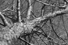 Black and white branches royalty free stock image