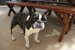 Black and White Brindle French Bulldog royalty free stock images