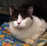 Black and white british cat Stock Images