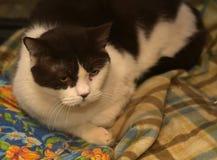 Black and white british cat Royalty Free Stock Photos