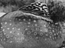 Black and White Brook Trout Patterns. And Dorsal Fin stock photos