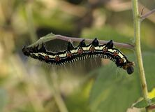 Black White and Brown Caterpillar on Green Grass stock photography