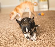 Black Chihuahua with Chew Toy. Black, white, and brown chihuahua dog chewing on a chew toy on carpet Royalty Free Stock Image