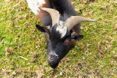 Black white brown goat on the grass in the garden. Background. For the inscription stock images