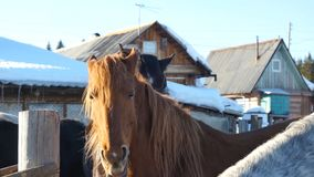 Black white and brown horses standing on the snow in a paddock near the white wooden fence.  Royalty Free Stock Photo