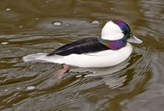 Black White Bufflehead Duck Stock Photos