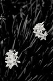 Black and white bulb flowers Stock Image