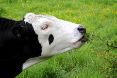 Black And White Bull In Field Stock Photos