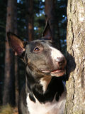 Black and white bull terrier portrait. Black and white English bull terrier portrait in the forest Royalty Free Stock Image