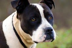Black and White Bulldog Amstaff Stock Photography