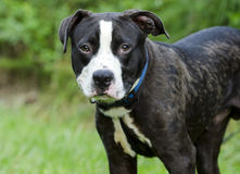 Black and white bulldog pit bull mixed breed Stock Images