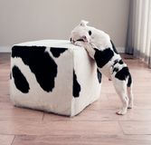 Black and white bulldog puppy dog leans on cow hide ottoman. Black and white bulldog puppy dog leans on cow hide ottoman square furniture. He is sniffing or royalty free stock photo