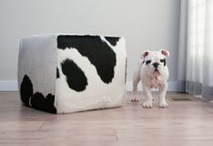 Black and white bulldog puppy dog stands beside cow hide ottoma. N square furniture. He is looking straight forward royalty free stock photos