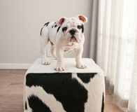 Black and white bulldog puppy dog stands on cow hide ottoman. He is looking forward. He matches the pattern of the ottoman. The ottoman is a cow hide stock images