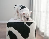 Black and white bulldog puppy dog stands on cow hide ottoman. He is leaning over looking at something on the floor royalty free stock image