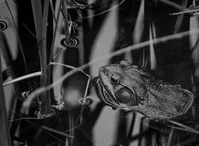 Black and white bullfrog. A black and whit of a bullfrog laying in a pond hidden among the reflections of the reeds royalty free stock image