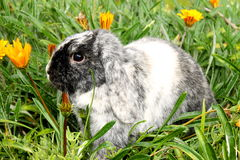 Black and white bunny rabbit Stock Image