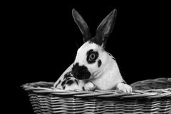 Rabbit on a black background royalty free stock images