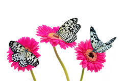 Black and White butterflies on Pink Gerberas. Stock Images