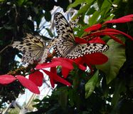Black and white butterflies on pink and orange flowers Royalty Free Stock Image