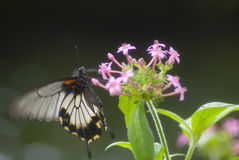 Black and white butterfly Royalty Free Stock Photos