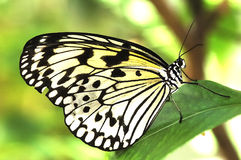 Black and White Butterfly Royalty Free Stock Image