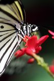 Black and White Butterfly. A black and white butterfly found in a nature conservatory, feeding on the nectar of a small, red flower stock image