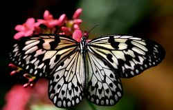 A Black and White Butterfly. A beautiful black and white butterfly perches on a pink flower at a nature conservatory royalty free stock photos