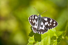 Black and white butterfly. Small butterfly in two colors on a green leaf Stock Photography