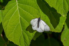 Black-and-white butterfly Aporia crataegi in natural habitat on green leaf close-up Stock Images