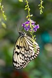 Black and white butterfly. Pollinating purple flower in the garden Stock Photo
