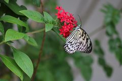 Black and white butterfly. On red flower royalty free stock photography