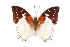 Black and white butterfly Charaxes hadrianus Royalty Free Stock Image