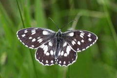 Black and white butterfly. Close up of black and white butterfly stock images