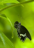 Black and white butterfly covered in droplets Royalty Free Stock Photography