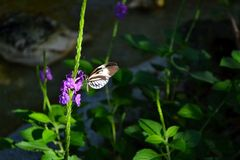 Black and white piano key butterfly (Heliconius melpomene)drinking nectar. Stock Image