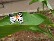 Black And White Butterfly royalty free stock photography