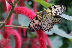Black and White Butterfly Feeding on a Pink Flower Stock Images