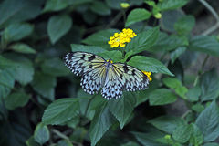 Black and White Butterfly Feeding on a Yellow Flower Royalty Free Stock Image