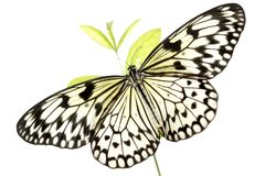 Black and White Butterfly (Idea Leuconoe) on White Stock Images