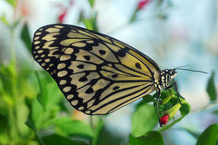 Black white Butterfly insect Royalty Free Stock Photos