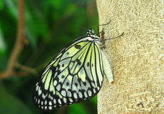 Black white Butterfly insect Stock Photography