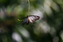 Black and White Butterfly at KuangSi Butterfly Park. Luang Prabang, Laos Stock Image