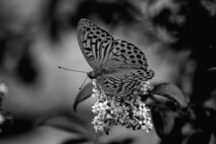 Black and white butterfly laid on white flower royalty free stock image